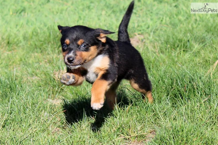 Australian Kelpie puppy for sale near Portland, Oregon