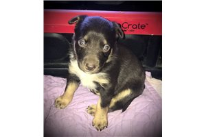 Australian Kelpies for sale