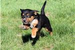 Australian Kelpie | Puppy at 11 weeks of age for sale