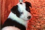 Picture of Chocolate white Mcnab-Border Collie pups