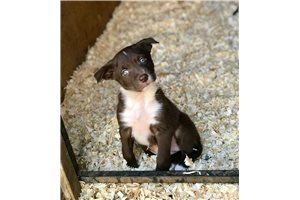 Mcnab pup | Puppy at 3 weeks of age for sale