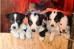 Picture of Mcnab/ Border Collie chocolate /white litter