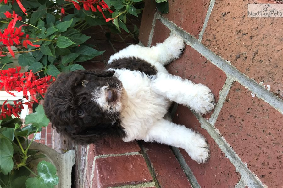 Litter Poodle Standard Puppy For Sale Near Nashville Tennessee