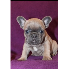 View full profile for Seattle French Bulldog