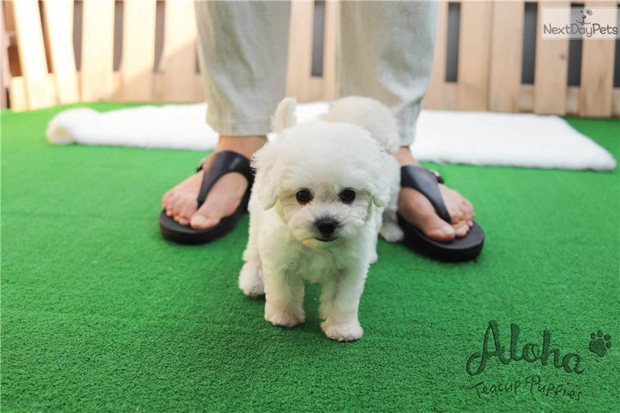 Teacup bichon frise puppy