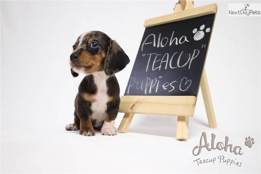 Molly Dachshund Mini Puppy For Sale Near Atlanta Georgia