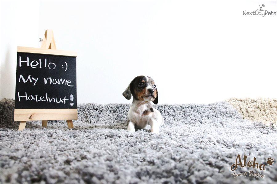 Hazelnut Dog Breed