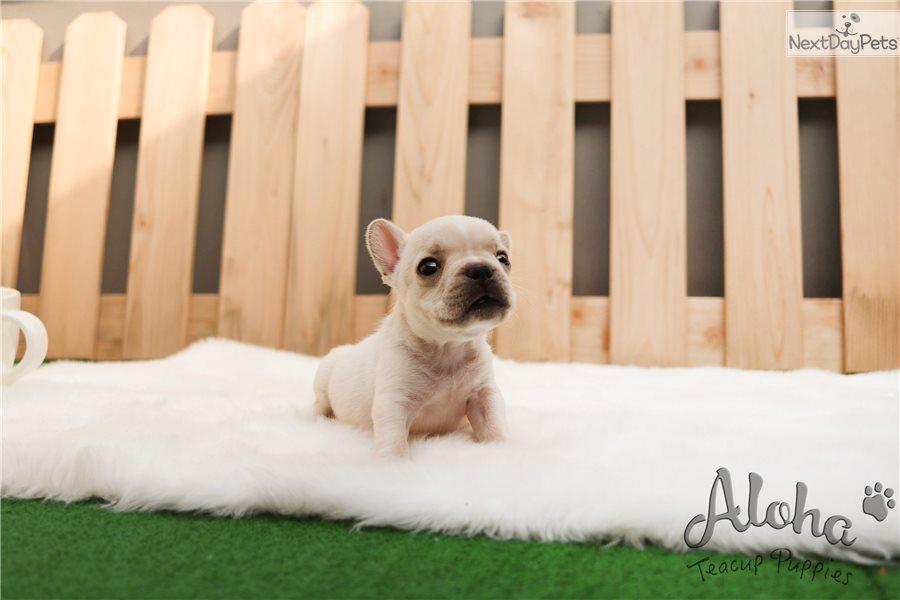 Mochi: French Bulldog puppy for sale near Atlanta, Georgia