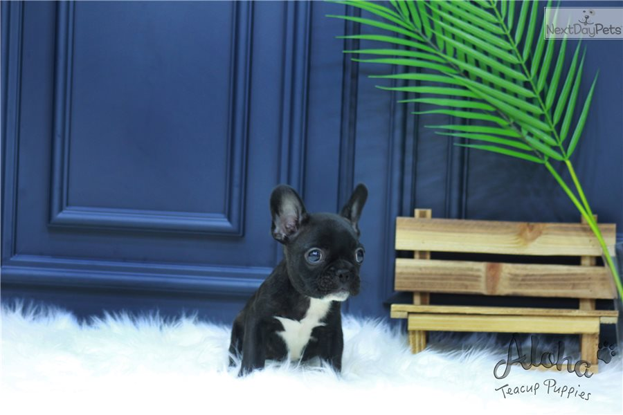 Teacup French Bulldog Puppies For Sale - Baxter
