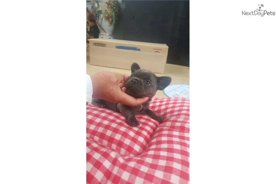 Blue: French Bulldog puppy for sale near Seoul, Korea ...