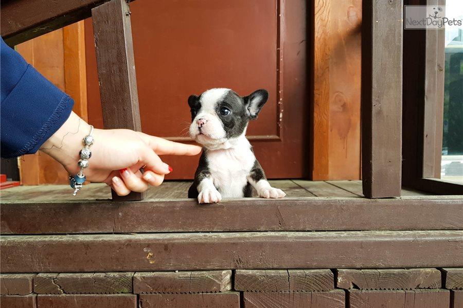 Megan: French Bulldog puppy for sale near Atlanta, Georgia