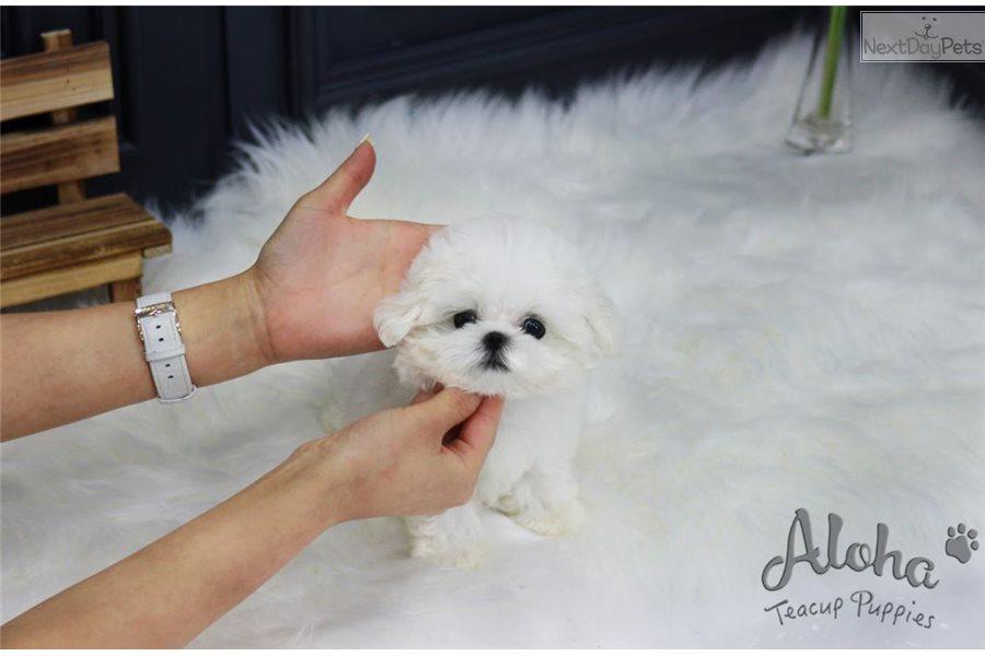 Mori: Maltese puppy for sale near Atlanta, Georgia | 52399101