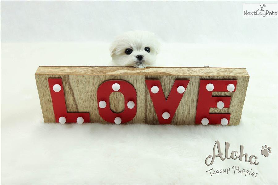 Latte : Maltese puppy for sale near Atlanta, Georgia