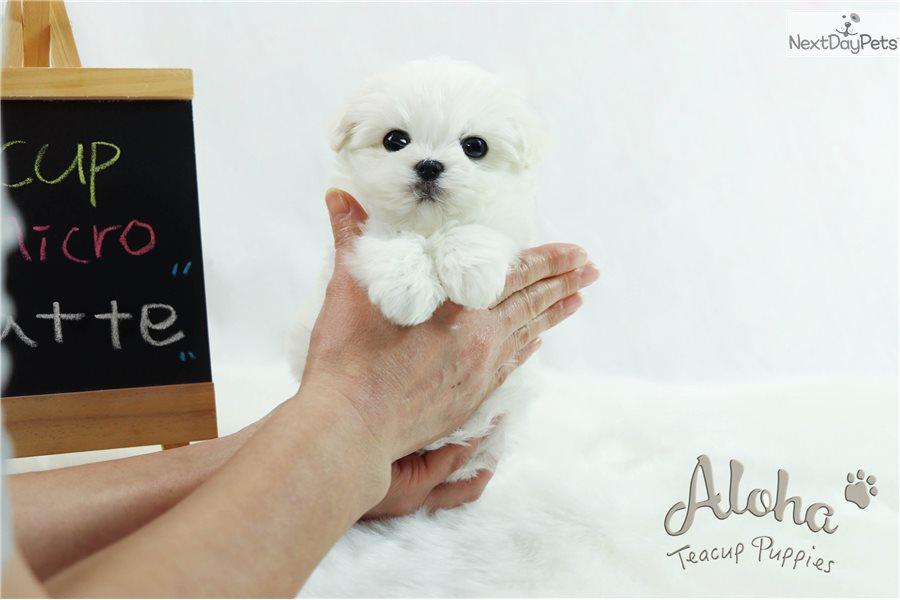 Latte Maltese Puppy For Sale Near Atlanta Georgia A2bb220f Ee41