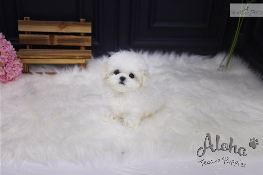 Teacup Toy Maltese Puppies For Sale [Mori]