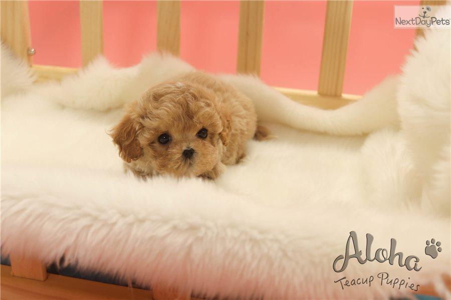 Prince : Malti Poo - Maltipoo puppy for sale near Atlanta Georgia