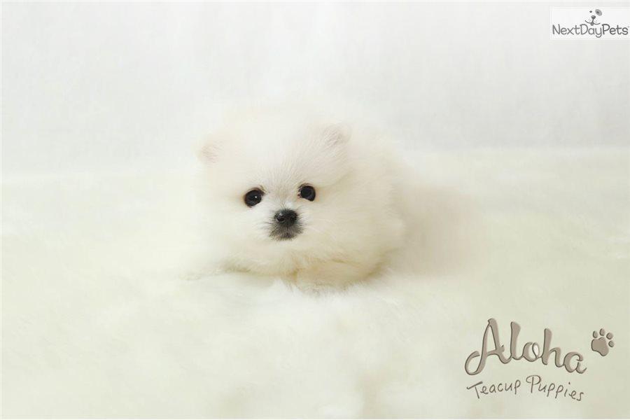 Teddy Pomeranian Puppy For Sale Near Atlanta Georgia D73addf5 5551