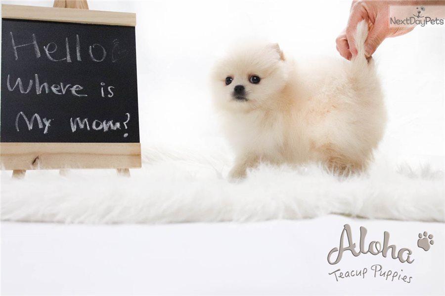 Ella Pomeranian Puppy For Sale Near Atlanta Georgia 6ef87698 1921