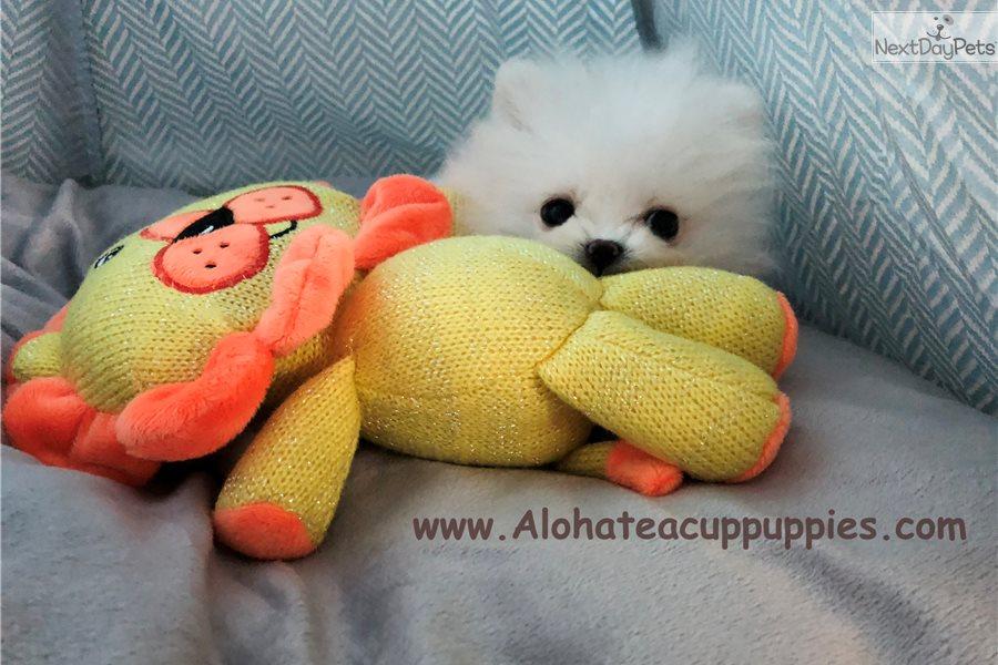 Cindy Pomeranian Puppy For Sale Near Atlanta Georgia 187421c7 45e1