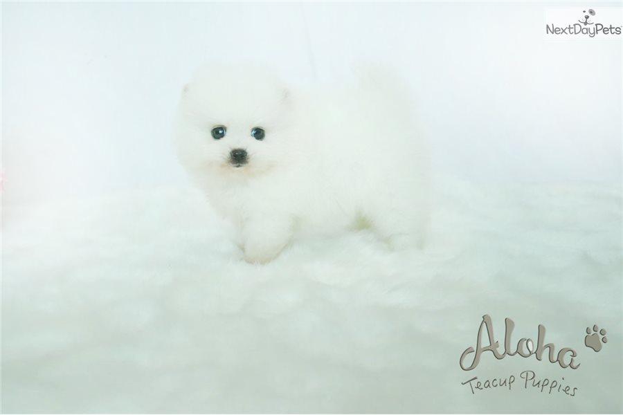 Marshmallow Pomeranian Puppy For Sale Near Atlanta Georgia
