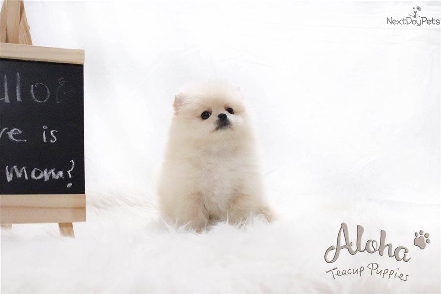 Ella: Pomeranian puppy for sale near New York City, New ...