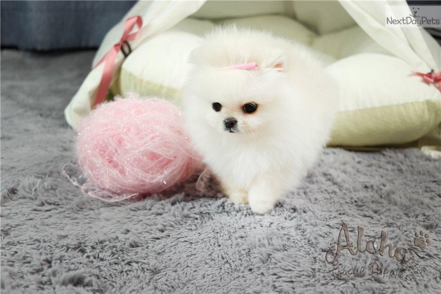 Gucci Pomeranian Puppy For Sale Near Atlanta Georgia E9dabe5c C271