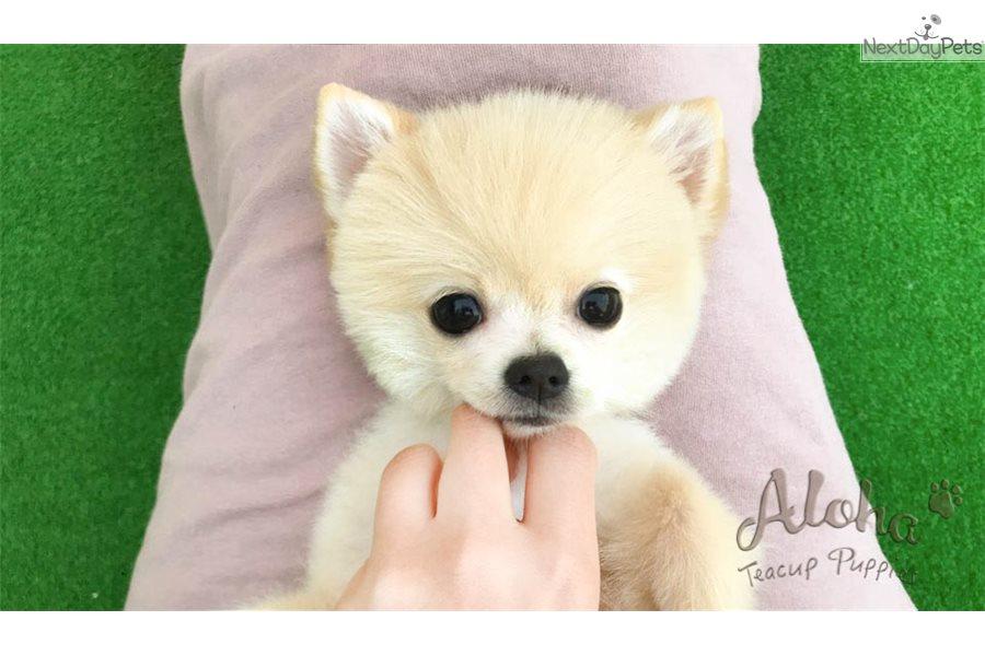 Ella Pomeranian Puppy For Sale Near Atlanta Georgia 0038bf9c 0c91