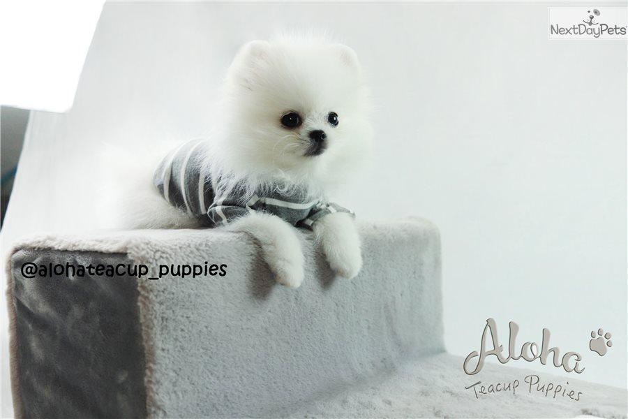 Cloud Pomeranian Puppy For Sale Near Atlanta Georgia 2f231970 15a1