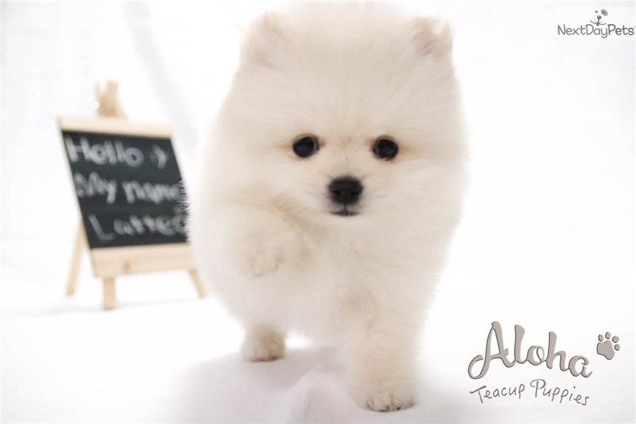Latte: Pomeranian puppy for sale near New York City, New ...