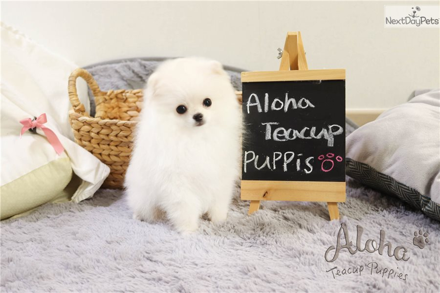Gucci Pomeranian Puppy For Sale Near Atlanta Georgia 0d4c5bb0 5e81