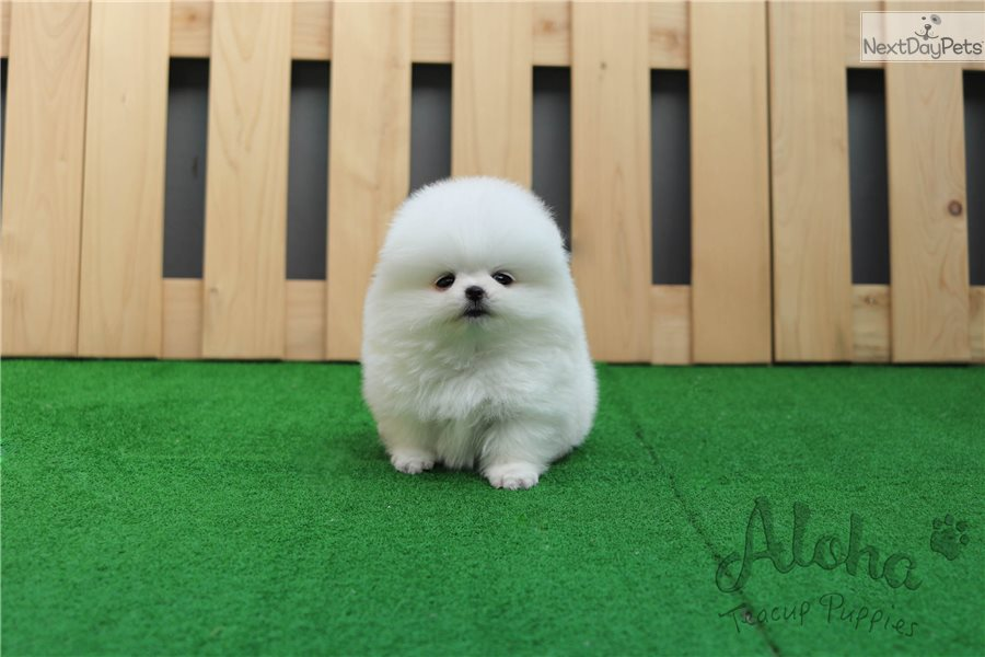 Gummy Bear: Pomeranian puppy for sale near Atlanta