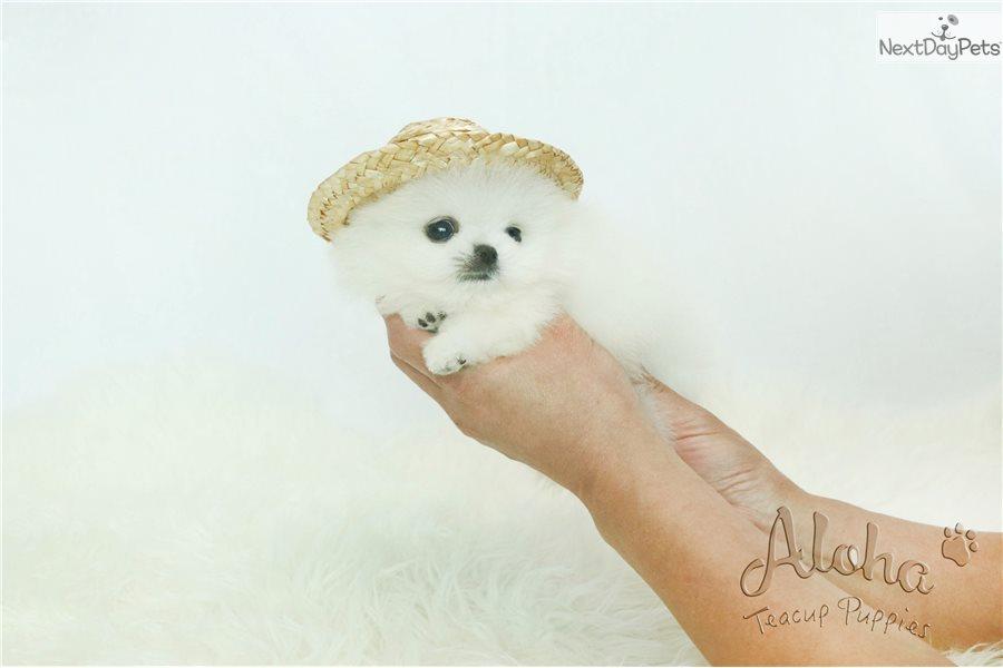 Boo: Pomeranian puppy for sale near Atlanta, Georgia | 01b683a2-35a1