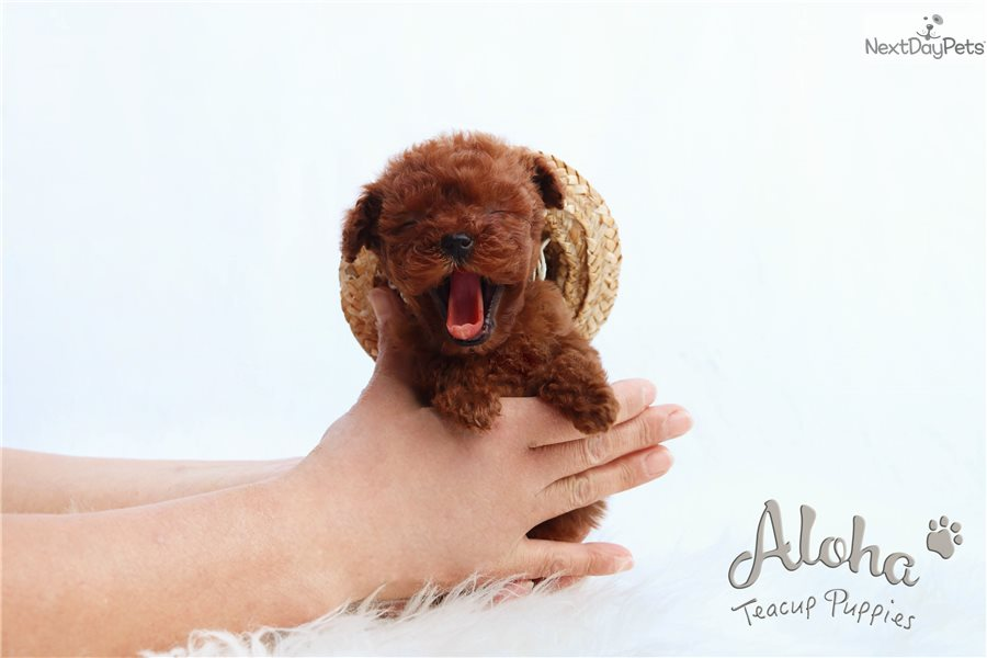 Chocolate Poodle Toy Puppy For Sale Near Atlanta Georgia