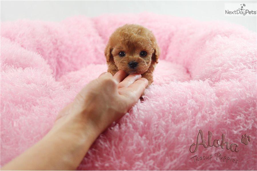 Cheese : Poodle, Toy puppy for sale near Atlanta, Georgia