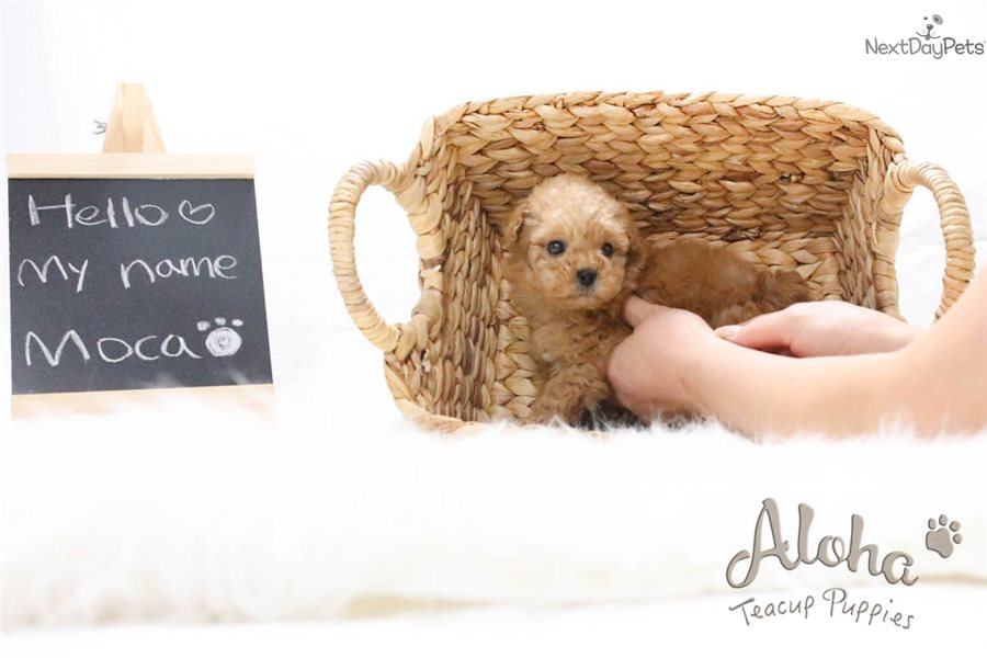 my toy poodle moca Poodle puppies for sale designer puppies for sale moms home: about us : moms: dads: before you purchase a puppy: maltipoos toy poodles grace is a small min.