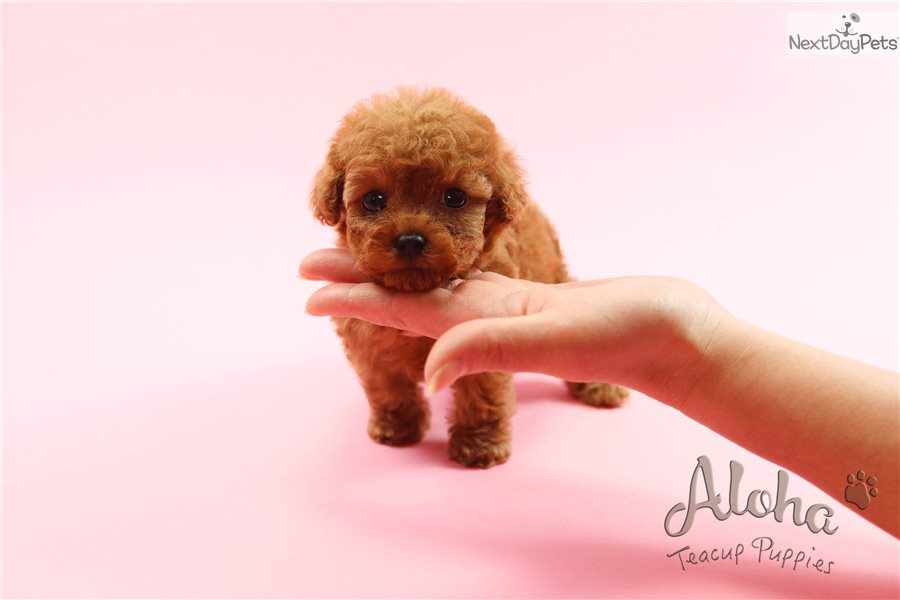 Ruby Poodle Toy Puppy For Sale Near Atlanta Georgia