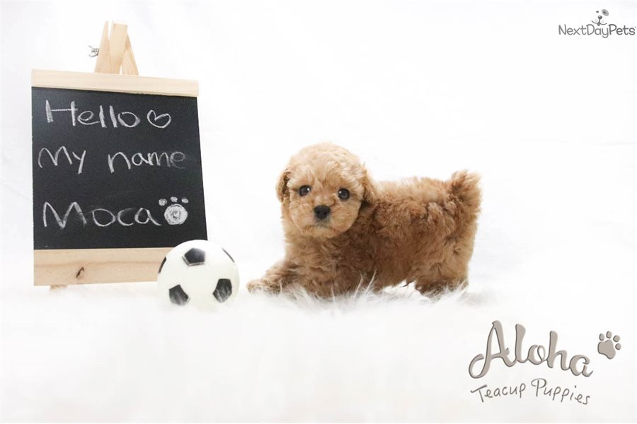 my toy poodle moca Toy poodles for sale (1 - 15 of 1,813)  is a tender toy poodle puppy that is good with the children and is being family nurtured this happy pup is veterinarian checked an tools 14 hours ago on puppyfind $1,295 trina toy poodle gap, pa is a tender toy poodle puppy that is good with the children and is being family nurtured.