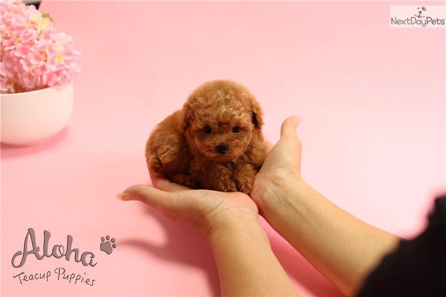 Macaron Poodle Toy Puppy For Sale Near Atlanta Georgia