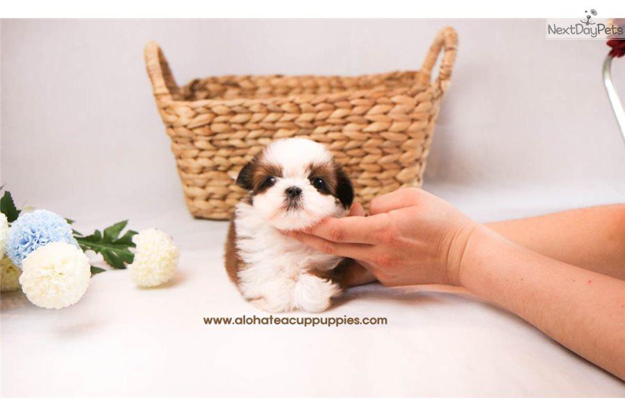 Kong: Shih Tzu puppy for sale near Atlanta, Georgia