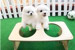Picture of Teddy bear face Teacup Bichon Frise female