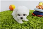 Picture of Teacup Toy Bichon Frise Puppies For Sale - Cindy