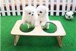 Picture of Teacup Toy Bichon Frise for sale [MOMO]