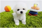 Picture of Mini Teacup Bichon Frise Puppies For Sale [Cocoa]