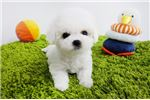 Picture of Mini Teacup Bichon Frise Puppies For Sale - Cindy