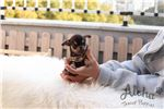 Picture of Teacup Micro Chihuahua Puppies For Sale [Pie]