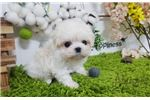 Picture of Mini Teacup Maltese Puppies For Sale - Sophie