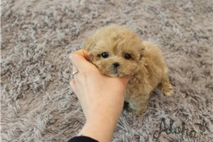 Picture of Teacup Maltipoo