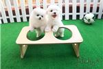 Picture of Teacup Toy Pomeranian for sale [ELIEN]