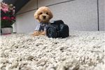 Picture of [Tory] Teacup Toy poodle