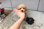 Picture of [Tory] Toy Poodle